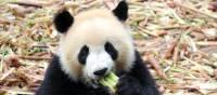 A delightful Panda enjoying a snack in Chengdu. | Alana Johnstone