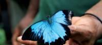 Beautiful butterfly along the Kokoda Track   Ken Harris