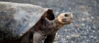 Galapagos Tortoise   Alex Cearns