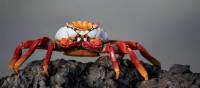 A Sally lightfoot crab in the Galapagos Islands   Alex Cearns